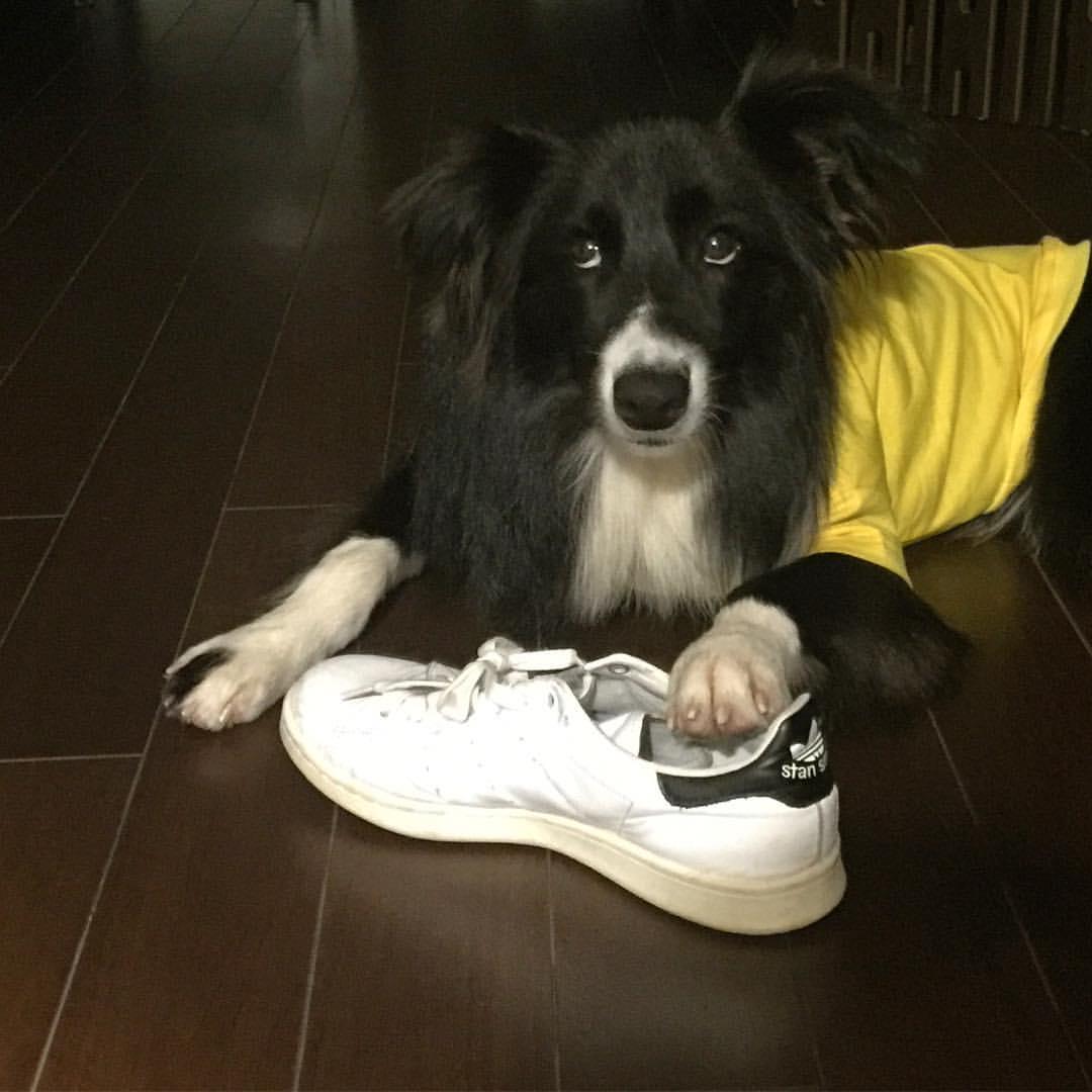 ボーダーコリーと靴